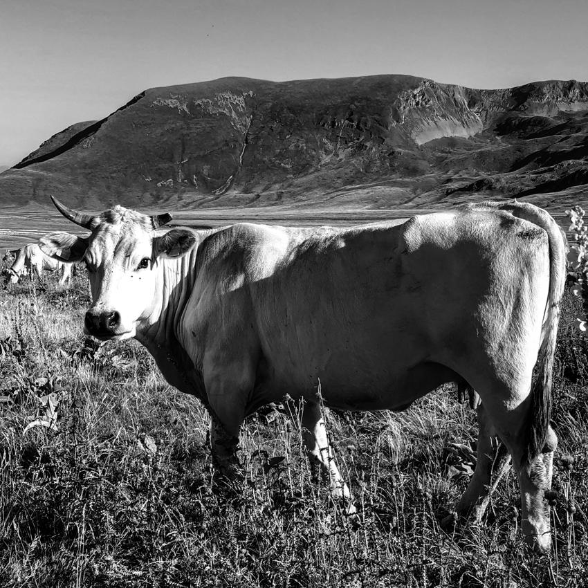01 agosto 2019 gran sasso fotografia analogica vacca