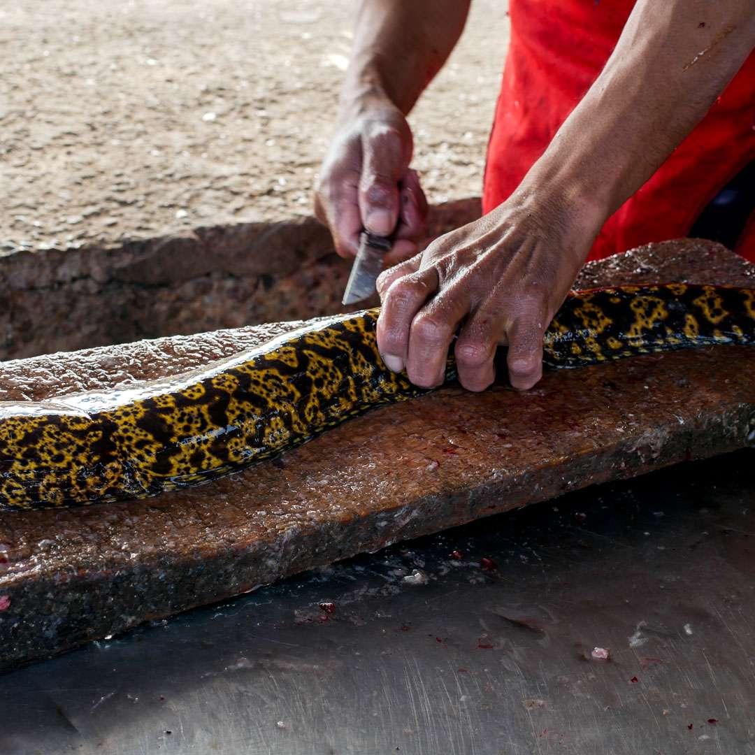 Pescatore spancia una murena, Souss-Massa-Draâ, Agadir, Marocco