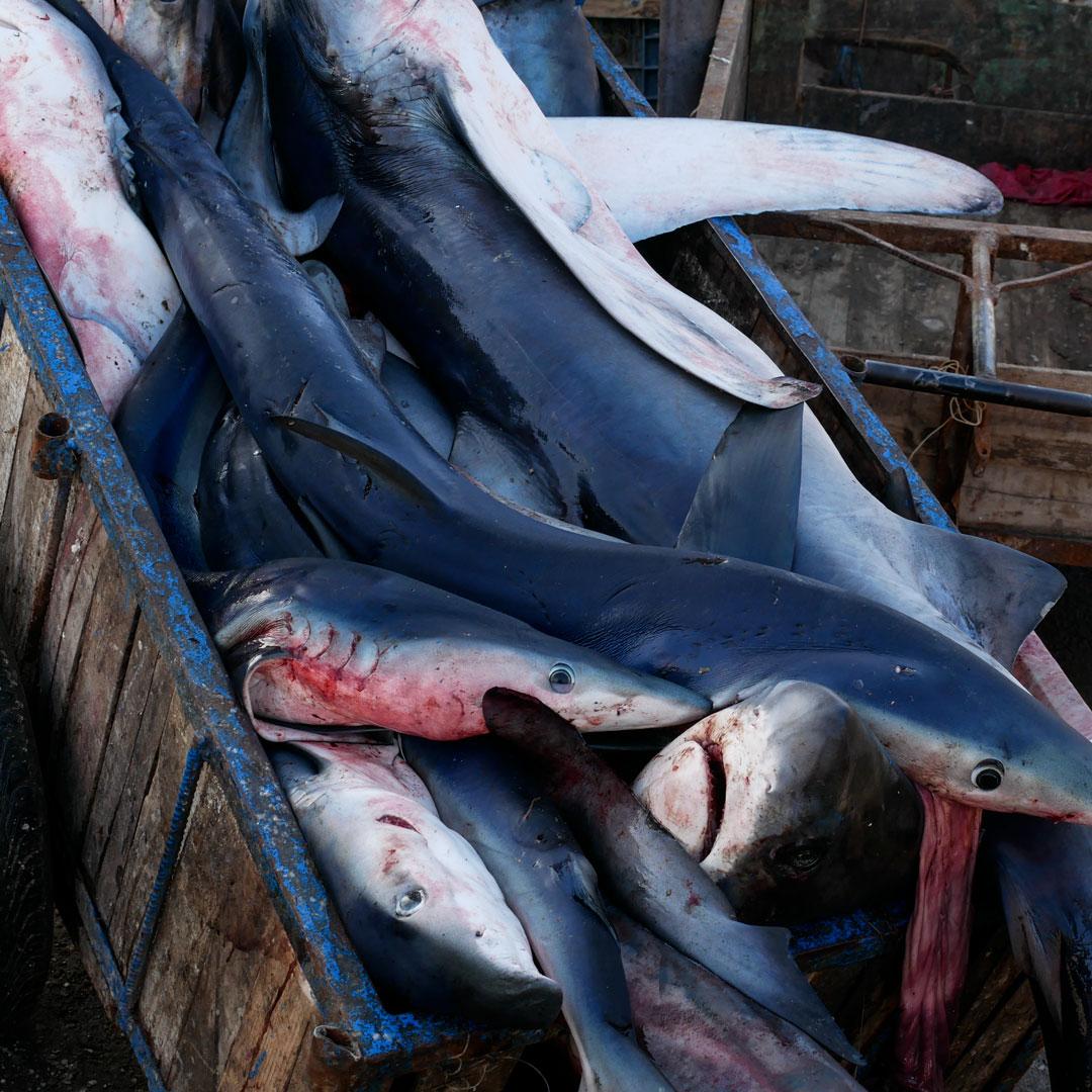 squali Mako, Essaouria, Marocco